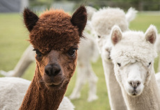 Alpaca Photography