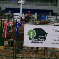 about-yew-tree-alpacas