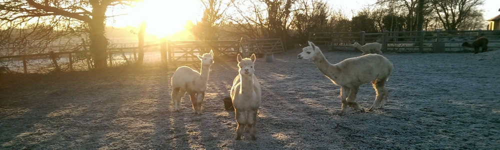Alpaca Adventures & Events