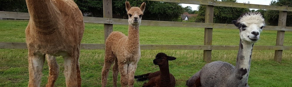 Meet the Yew Tree Alpacas