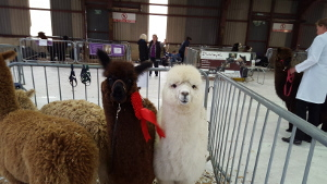 Buy Alpacas from Hertford