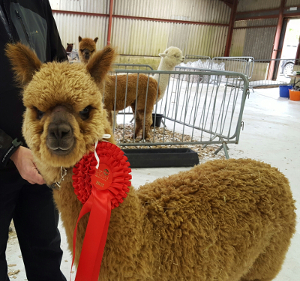 Buy Alpacas from St Albans