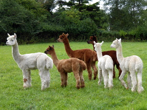 Buy Alpacas from Welwyn Garden City