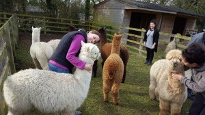 learning how to hold an alpaca_800