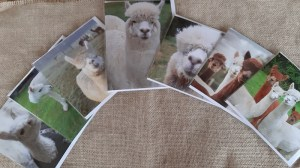Selection of 7 greeting cards showing Yew Tree Alpacas - blank for own message